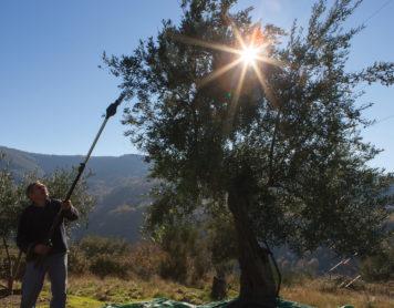 ¿Por qué el aceite de oliva es saludable?