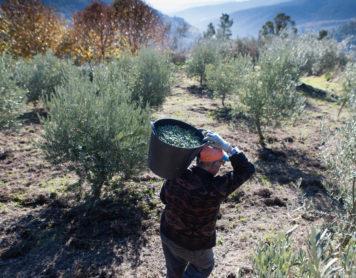 ¿Estás pensando en plantar olivos?